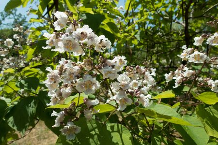 Side view of panicle of white flowers of catalpa tree Stock fotó