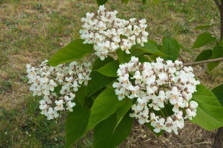 Three panicles of white flowers of catalpa tree