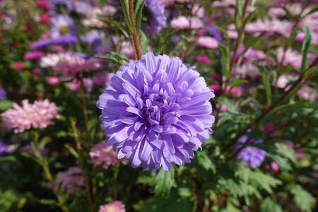 Violet flower head of China aster in September