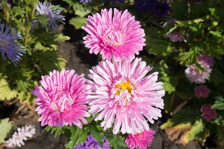 Daisy like pink flower heads of China aster