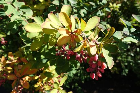Lime green leaves and red berries on branches of common barberry in autumn