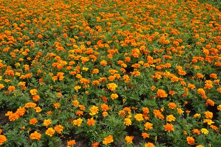 Large number of bright orange flowers of Tagetes patula