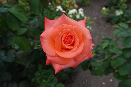 Single salmon pink flower of garden rose Stok Fotoğraf
