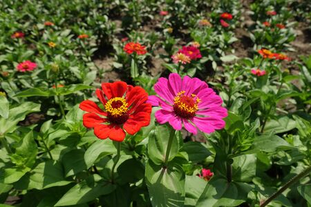 Red and magenta colored flower heads of zinnia