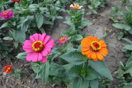 Pink and orange flower heads of zinnia 版權商用圖片