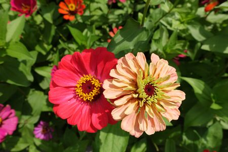 Salmon pink and beige flower heads of zinnia
