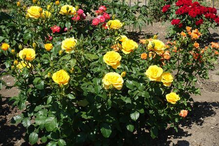 Orange, yellow, pink and red rose bushes in the garden