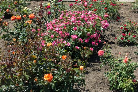 Pink, orange and red rose bushes in the garden