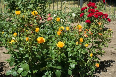 Yellow, pink and red rose bushes in the garden