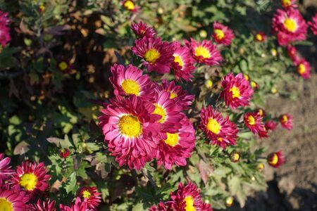 Close shot of deep pink and yellow flowers of Chrysanthemum