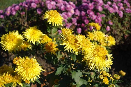 Insect pollinating yellow flowers of Chrysanthemum in November