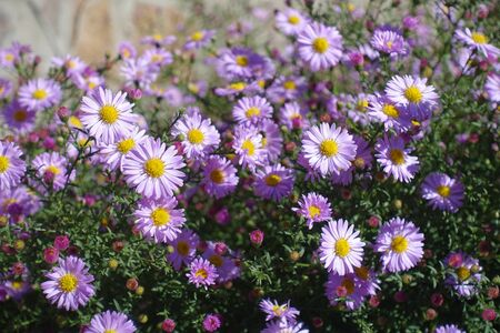 Closeup of pink flowers of Symphyotrichum dumosum in October