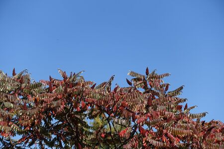 Autumnal foliage of Rhus typhina against blue sky in October