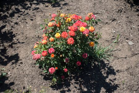 Compact rose bush with multicolored flowers in May