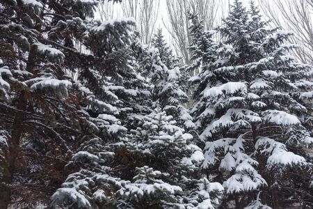 Big trees of blue spruces covered with snow in winter
