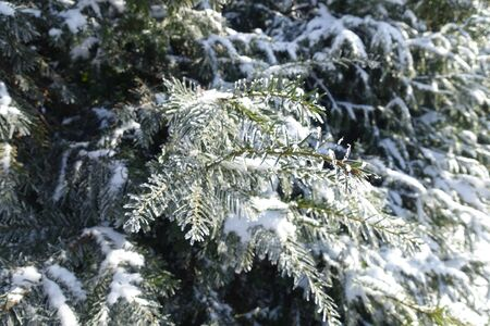 Branches of yew covered with hoar frost and snow