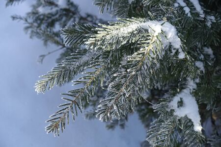 Closeup of yew branches covered with hoar frost and snow in winter