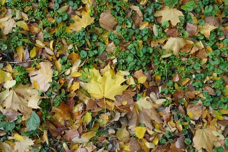 Bright colorful fallen leaves covering Glechoma hederacea in autumn