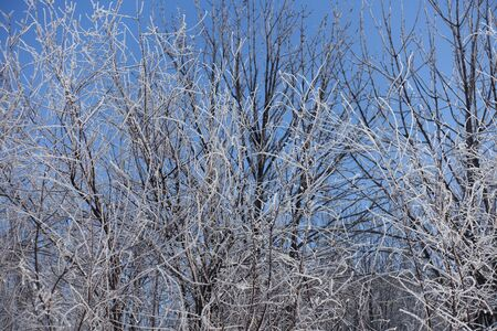 Trees covered with hoar frost against blue sky in winter