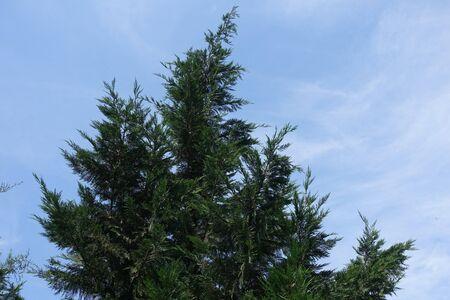 Crown of Lawson cypress against blue sky