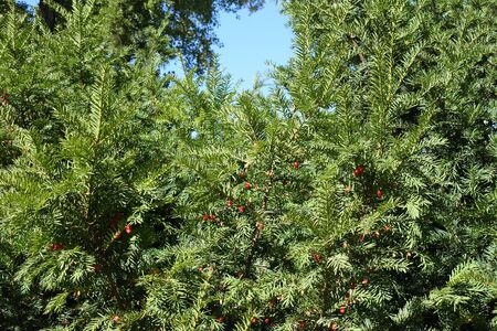 English yew branches with red berries against blue sky in autumn