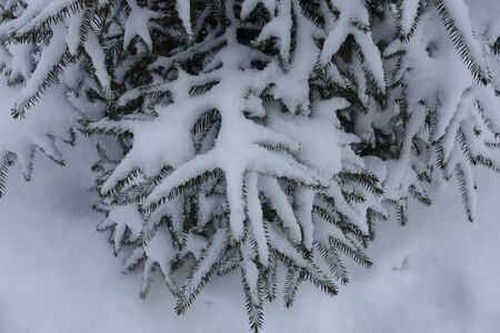 Top view of branches of common spruce covered with snow in winter