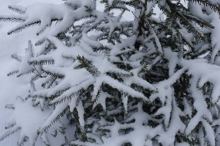 White snow covering branches of common spruce in winter Banque d'images - 135495249