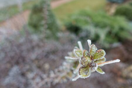 Greenish brown leaves covered with hoar frost in winter Фото со стока