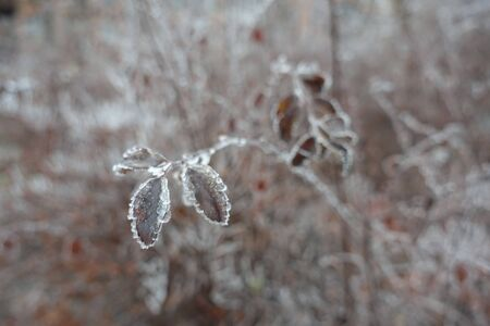 Leaves with hoar frost in winter park