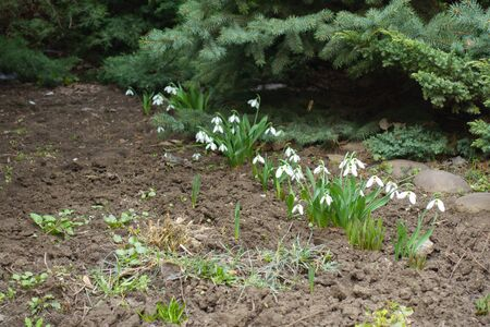 Diagonal row of flowering snowdrops in the garden in March