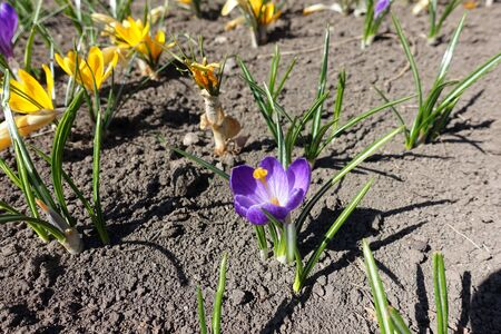 Yellow and purple flowers of crocuses in April