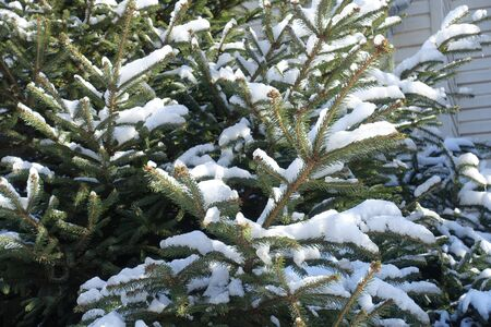 Evergreen branches of spruce covered with snow in winter Stock Photo
