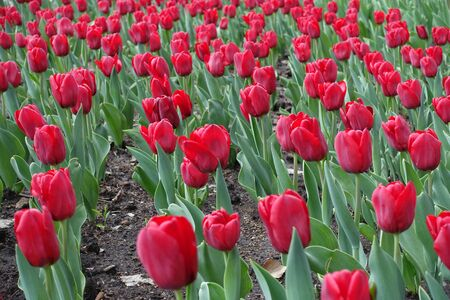 Big red flowers of tulips in mid April