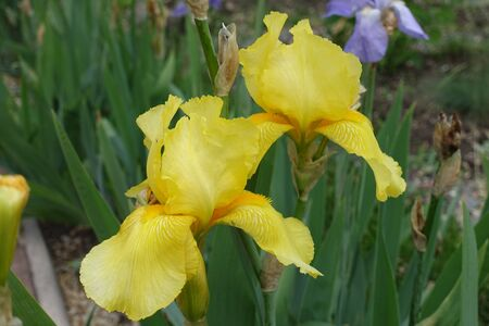 2 yellow flowers of bearded irises in May