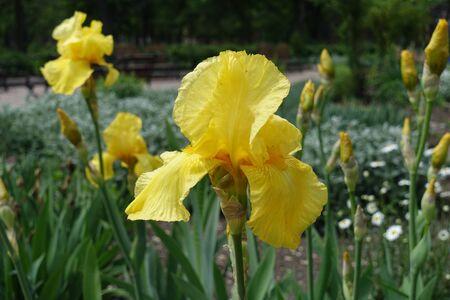 Closeup of yellow flower of bearded iris in May