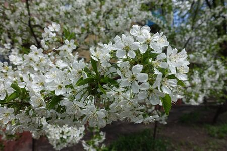 Abundant white flowers of sweet cherry in April