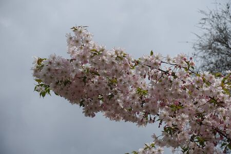 Numerous light pink flowers on branches of Japanese cherry tree in April Stock Photo