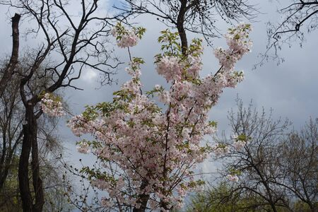 Young Japanese cherry tree in full bloom in April