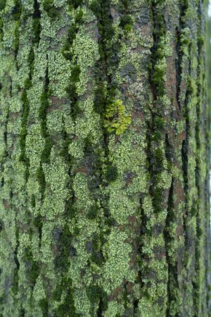 Cracked surface of tree bark covered with moss and lichen