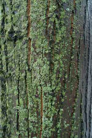 Dark gray tree bark covered with green moss and lichen
