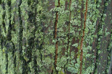 Gray tree bark covered with moss and lichen