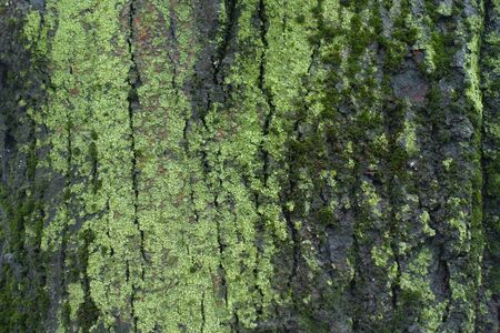 Wet tree bark covered with green moss and lichen