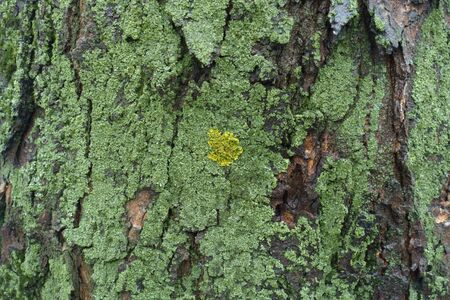 Yellow and green lichen and moss on tree bark
