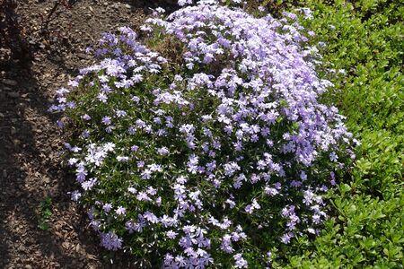 Flowering cushion of violet phlox subulata in April Stock Photo