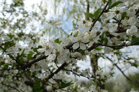 Blossom of sour cherry tree in mid April Imagens