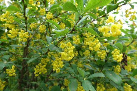 Berberis vulgaris in full bloom in May