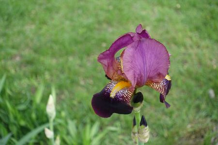 Single pink and purple flower of iris in mid May