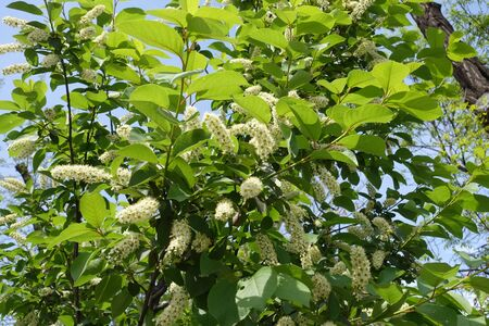 Blossoming branches of Prunus serotina in May