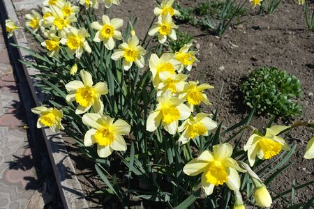 Abundant yellow flowers of narcissuses in April 스톡 콘텐츠