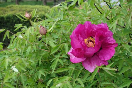 Bright pink flower of tree peony in May